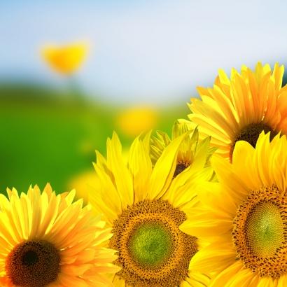 Sonnenblumenkerne mit viel natürlichem Vitamin E