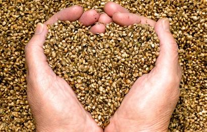 Bio Hanfoel Saat zum kaltpressen von Oelen